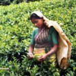 Cultivarea şi recoltarea ceaiului